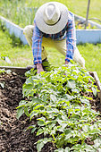 Character in a small vegetable garden in squares, in spring, with potatoes in the foreground