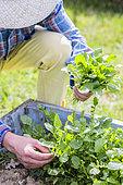 Harvesting of winter cress (Barbarea vulgaris), in spring.