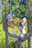 Pruning of a 'gourmand' epicormic shoot, on a pear tree: a woody shoot that has evolved late into a crowned stem (physiological disorder).