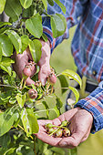 Over-plucking of pears on a subject palisse in espalier.