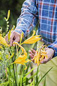 Cleaning of wilted Amur daylily (Hemerocallis middendorffii) flowers