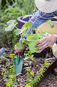 Gardener planting hollyhocks (Alcea sp) in spring.
