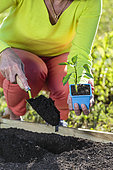 Planting a Cayenne pepper plant (Capsicum annuum) in May: dig the planting hole.
