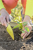 Planting a Cayenne pepper plant (Capsicum annuum) in May: fill in the hole.