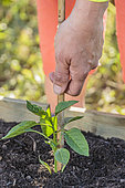 Planting a Cayenne pepper plant (Capsicum annuum) in May: staking