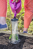 Planting a Cayenne pepper plant (Capsicum annuum) in May: watering