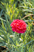 Dianthus caryophyllus 'Can Can Rose'