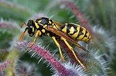 European paper wasp (Polistes gallicus) on Borage (Borago officinalis), Bearn, France