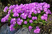 Hairy primrose (Primula hirsuta) on siliceous rocks with little sunlight, Pyrenees, France