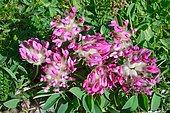 Pyrenean kidneyvetch (Anthyllis vulneraria pyrenaica) on dry calcareous lawn, Pyrenees, France