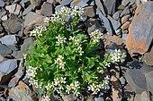 Alpine Rock-cress (Arabis alpina) on limestone rocks and scree, Pyrenees, France