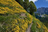 Val d'Azun: slope covered by Western Gorse (Genista hispanica occidentalis), facing the Camplong Organs, Vallée d'Aspe, Pyrenees, France