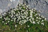 Large-flower sandwort (Arenaria grandiflora) on rocks and lawns on limestone, Pyrenees, France