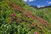 Alpen Rose (Rhododendron ferrugineum) on siliceous soil heath, Pyrenees, France