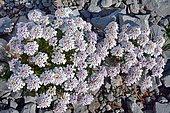 Spoon-leaved Candytuft (Iberis spathulata) on limestone scree, Pyrenees, France