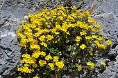 Common Rock-rose (Helianthemum grandiflorum) on alpine grass and limestone rocks, Pyrenees, France