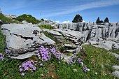 Fairy Foxglove (Erinus alpinus) on limestone rocks and scree, Pyrenees, France