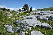 Globe daisy (Globularia repens) on sunny rocks and limestone scree, Pyrenees, France