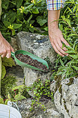 Man planting a perennial in a stone wall, step by step.