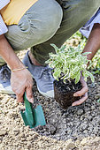 Planting of a variegated officinal sage (Salvia officinalis) 'Icterina'.