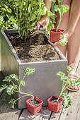 Planting of kale, curly kale 'Westlanse Winter' in a planter at the end of summer.