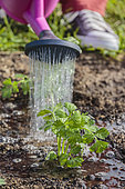 Planting of celeriac in the vegetable garden in summer.