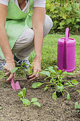 Woman planting spinach in vegetable garden in summer