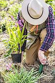 Jardinier plantant une orchidée jacinthe (Bletilla striata), au printemps.