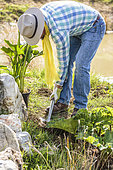 Man planting an Arum lily (Zantedeschia aethiopica) on the edge of a pond in spring.