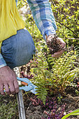 Man cleaning a fern (Polystichum sp) in the spring: cutting the dry fronds of a fern on the edge of a flower bed