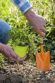 Planting of creeping Selaginella (Selaginella kraussiana), semi-shade ground cover