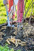Harvest of helianthis (Helianthus strumosus), a root vegetable cousin of Girasole, in winter.
