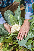 Man discovering 'Serac F1' cauliflower that has reached harvest size, small-caliber cauliflower for early cultivation under cover