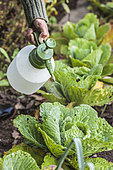 Woman spraying a plant extract on a cabbage in autumn. A spray of a natural product, such as a plant extract or a Bacillus-based anti-caterpillar, protects the cabbages against the many pests that attack them.