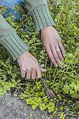 Division d'origan vivace (Origanum vulgare). Les touffes d'origan doivent être régulièrement tranchées afin de ne pas trop s'étaler. La plante libère dans le sol des substances chimiques néfastes aux autres cultures et finit par les faire dépérir.