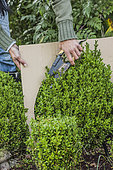 Jardinière taillant un buis en boule en suivant un gabarit découpé dans du carton.
