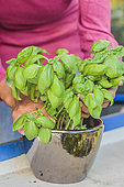 Gardener placing basil bought in pots on his balcony. Simply placed in a flowerpot on a windowsill, store bought basil will remain available on hand throughout the season.