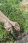 Division of a Lady fern (Athyrium filix-femina) 'Victoriae', in autumn.