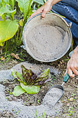 Spreading wood ash around young lettuce, in autumn: protects against attacks by slugs but also other pests, such as moths, until the next rain.