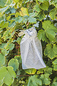 Bagging of 'Chasselas' grapes, at the end of summer.