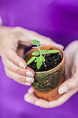 Woman holding a young tomato plant in a terracotta pot