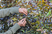 Trellising a purple beech hedge to thin it out.