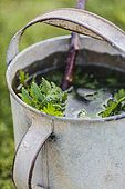 Common tansy macerating in an old galvanized container, to make a plant extract.