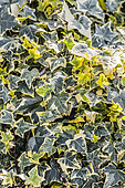 Variegated English ivy (Hedera helix) 'Gold Child'
