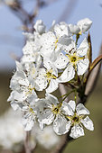 Flowers of the Xinjiang pear tree or Korla pear (Pyrus x sinkiangensis), in March, in France.