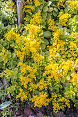 Flowering of Korean Stonecrop (Sedum kimnachii) a drought-resistant species in spring.