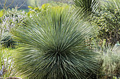 Linear-leaf Yucca (Yucca linearifolia) native to the Chihuahua desert in a garden in Europe.