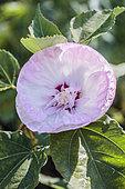Swamp Rosemallow (Hibiscus moscheutos), a variety of Ukrainian origin.