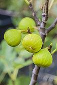 Fig 'Verte d'Argenteuil'