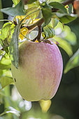 Apple of the variety 'Pouzaraque', Aveyron variety.
